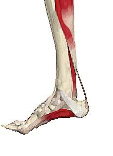 anatomy of plantar fasciitis