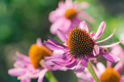 echinacea as a natural flu fighters